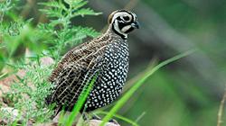 details_mearns_quail